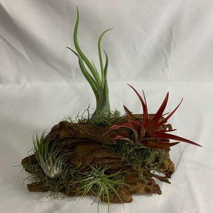 Live air plants on Malaysian driftwood